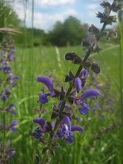 Wiesensalbei - Blüte, Botanik Pflanzen, Wiese, Lippenblütler, Wiesensalbei, lila, violett