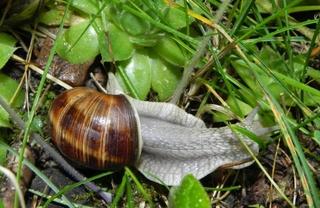 Schnecke - Schnecke, Weichtier, Mollusken, Garten, Schnecknhaus
