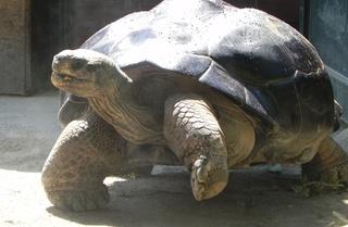 Schildkröte - Schildkröte, Landschildkröte, Reptil, Zoo, Kriechtier, Panzer, Schuppen, Winterruhe, langsam, Keratin, bedroht, Schildpatt, Artenschutz, Washingtoner Abkommen
