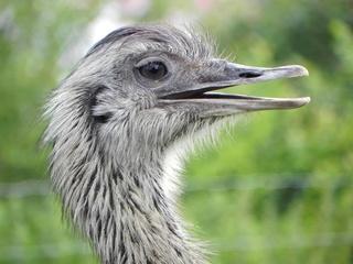 Strauß - Vogel, Laufvogel, Afrika, Strauß, Auge, Federn, Schnabel, Tier, Zoo