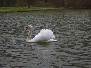 Schwimmender Schwan - Schwan, schwimmen, Vogel, weiß, Federn, Wasser, Wasservogel