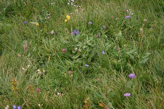 Wildblumenwiese - Blumen, Blüten, Pflanzen, Wildpflanzen, Wiese, Blumenwiese, Grünland, Gräser