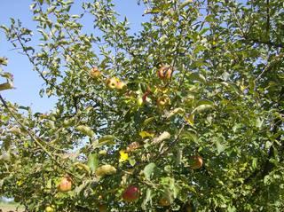 Apfelbaum im Garten - Apfel, Äpfel, Apfelbaum, Zweige, Blätter, Kernobst, Rosengewächs, Früchte, Obst, pflücken, ernten, Herbst
