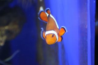 Anemonenfisch - Anemonenfisch, Clownfisch, Harlekinfisch, orange-weiß, orange, Aquarium, Symbiose, Seeanemone