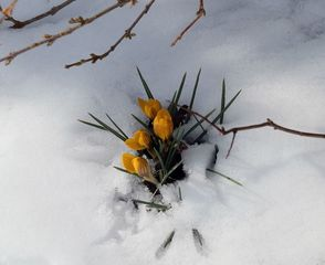 Krokusse im Schnee - Frühling, Krokus, Krokusse, Frühjahr, Blüte, geschlossen, winterhart, Frühblüher, Blüten, Blumen, Schnee, Schwertliliengewächse, Iridaceae, Staubgefäß, Blütenblatt, gelb, Pflanze