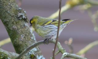 Erlenzeisig Weibchen - Erlenzeisig, Vogel, Zeisig, Finken, Sperlingsvögel, Singvögel, Stieglitzartige, Carduelis spinus