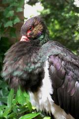 Schwarzstorch - Schwarzstorch, Storch, Schreitvogel, Artenvielfalt, Arten, Haltung, Verhalten, Schnabelklappern