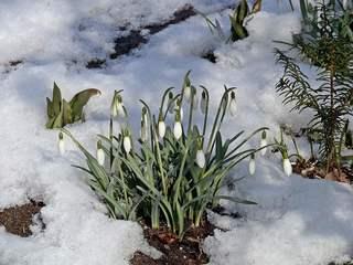 Schneeglöckchen - Schneeglöckchen, Frühling, Frühjahr, Frühblüher, Zwiebelgewächs, weiß, Jahreszeit, Schnee