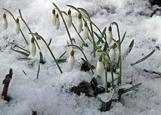 Schneeglöckchen im Schnee - Schneeglöckchen, Frühling, Frühjahr, Frühblüher, Zwiebelgewächs, weiß, Jahreszeit, Schnee