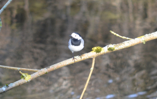Bachstelze - Vogel, Vögel, Zugvogel, Motacilla alba, Stelzen, Pieper, Singvogel, Sperlingsvogel