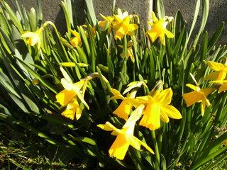Narzisse #1 - Narzisse, Frühblüher, Frühling, Zwiebelgewächs, blühen, Blüte, gelb, Osterglocke, Garten