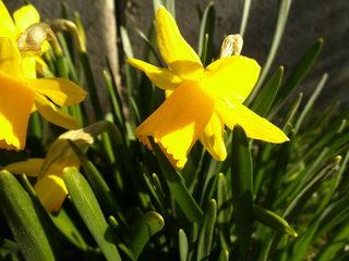 Narzisse #2 - Narzisse, Frühblüher, Frühling, Zwiebelgewächs, blühen, Blüte, gelb, Osterglocke, Garten