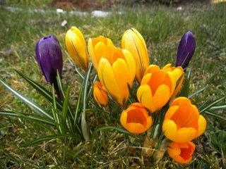 Krokus#2 - Krokus, Frühblüher, Frühling, Schwertliliengewächs, winterhart