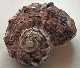 Muschel oder Schnecke mit Hintergrund - Muschel, Tier, Wasser, Meeresbewohner, Meer, Schneckenhaus, Spirale