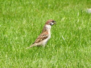 Ein Sperling passt auf - Vogel, heimische Vögel, Spatz, Sperling, beobachten, beschreiben, Schreibanlass