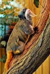 Kaiserschnurrbarttamarin - Affe, Äffchen, Bart, Primat, Krallen, Tier, Säugetier, Fell