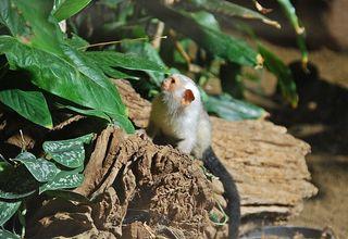 Silberäffchen #2 - Affe, Äffchen, Primat, Krallen, klein, Tier, Säugetier, klettern