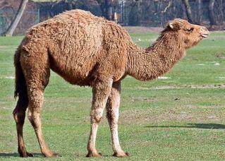 Dromedar #2 - Dromedar, Kamel, einhöckrig, Höcker, Lasttier, Reittier