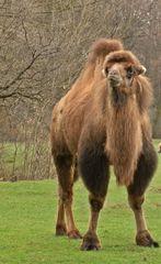 Kamel - Kamel, Kamele, Säugetier, Trampeltier, Höcker, Wüstenschiff, Lastentier, Reittier