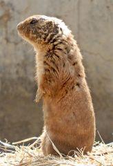 Erdhörnchen stehend - Erdhörnchen, Präriehund, Nagetiere, Hörnchen, Prärie, Zoo, bellen