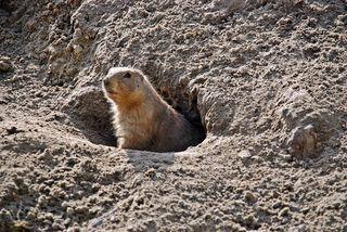 Erdhörnchen  - Erdhörnchen, Präriehund, Nagetiere, Hörnchen, Prärie, Zoo, bellen