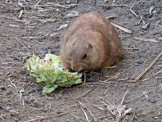 fressendes Erdhörnchen - Erdhörnchen, Präriehund, Nagetiere, Hörnchen, Prärie, Zoo, bellen, fressen, Nahrung