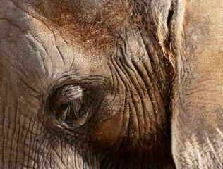 Elefantenauge - Elefant, Auge, Sinnesorgan, sehen, Blick, Detail