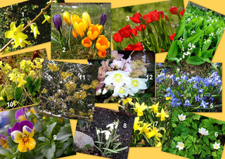 Was blüht denn hier? - Frühblüher - Frühblüher, Blüten, Blumen, Forsythie, Krokus, Tulpe, Maiglöckchen, Blausternchen, Scilla, Buschwindröschen, Osterglocke, Narzisse, Schneeglöckchen, Stiefmütterchen, Himmelschlüssel, Schlüsselblume, Zaubernuss, Christrose, DaF