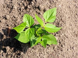 Junge Bohnenpflanze - Bohne, Pflanze, Sachunterricht, beobachten, pflegen, grün, Blätter, jung, wachsen