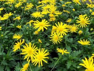 Gelbe Strauchmargerite, Gold-Margerite - Strauchmargerite, Goldmargerite, Korbblütler, Gartenpflanze, Zierpflanze, Strauch, Sommer, gelb, Kübelpflanze, Blüten