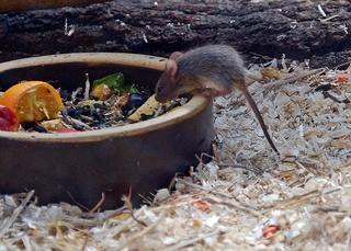 kleine Maus am Futternapf - Maus, Nagetier, Säugetier, Nager, klein, Fell, fressen, Fütterung, füttern, Mäuschen
