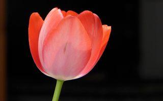 Tulpe - Tulpe, Blüte, Gartenblume, Frühblüher, rot