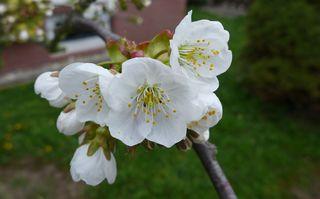 Kirschblüte #2 - Obstbäume, Natur, Garten, Blüten, Kirsche, unterständig, Staubgefäß, Stempel, Fruchtknoten