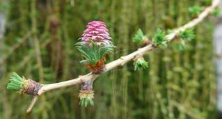 Lärche - neue Blüte #3 - Lärche, Nadelbaum, Kieferngewächs, Pinaceae, Larix decidua, Blüte, Lärchenblüte