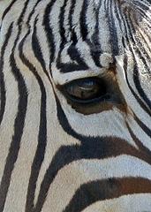 Auge des Zebras - Zebra, Unpaarhufer, Streifen, Pferd, Mähne, Grasfresser, Zoo, schwarz-weiß, gestreift, Savanne, Afrika, Zeichnung, Tarnung, Camouflage, Auge, Sinnesorgan, sehen, Wimpern, Blick