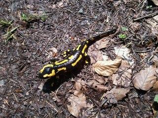 Feuersalamander - Feuersalamander, Amphibien, Biologie, Feuermolch, Erdmolch, Erdsalamander, Regenmolch, Regenmännchen