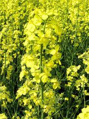 Raps Blütenstand - Raps, Rapsblüte, Blütenstand, Natur, Öl, Nutzpflanze, Rapsöl, Kreuzblütler, gelb, Rapsfeld, Frühling