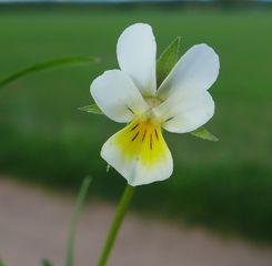 Acker-Stiefmütterchen - Hornveilchen, Blüte, Pflanze, Viola arvensis, Stiefmütterchen, Acker-Stiefmütterchen