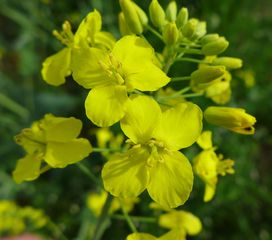 Rapsblüten - Raps, Rapsblüte, Blütenstand, Natur, Öl, Nutzpflanze, Rapsöl, Kreuzblütler, gelb, Rapsfeld, Frühling, Knospen