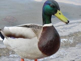Stockente Männchen - Ente, Erpel, Stockente, männlich, Männchen, Schwimmente, Wildente, Feder, Federn