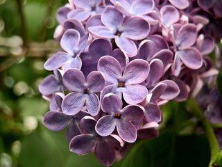 Großaufnahme von lila Fliederblüten - Flieder, lila, violett, fliederfarben, Duft, Lippenblütengewächs, Ölbaumgewächs, Heilpflanze, Zierpflanze, vier, Blüte