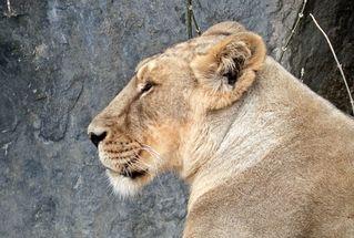 Kopf einer Löwin - Löwe, Löwin, Kopf, Raubtier, Säugetier, Tier, Fleischfresser, Profil, Katze, Großkatze, Wildtier, weiblich, Weibchen, wild, liegen, Lion, Leo