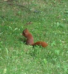 Europäisches rotes Eichhörnchen - Eichkätzchen, Eichkater, Nagetiere, Sciurus vulgaris, Hörnchen, Fell