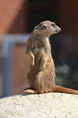 Erdmännchen - Erdmännchen, Raubtier, Katzenartige, Manguste, suricata suricatta, Neugier, Wächter, Wache, wachsam, aufmerksam, umschauen, sitzen, aufpassen