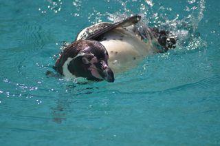 Pinguin - Pinguin, Zootier, Zootiere, Wassertier, Wasservogel, Wasser, schwimmen, schwimmend, seitlich, Seitenlage