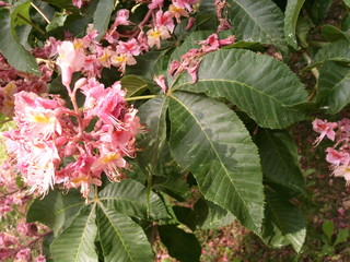 Rotblühende Rosskastanie - Kastanie, Gewöhnliche Rosskastanie, Gemeine Rosskastanie, einheimisch, Blüten, blühen, Kerzen, Frühling, Blätter, Blatt, Blüte, Laubbaum