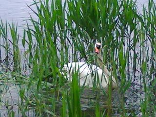 Schwanenvater bei Nestpflege - Schwan, Höckerschwan, Reparatur, Nest, Nestpflege, Nestbau, Wasservogel, Uferbereich
