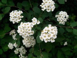 Brautspiere / Schneespiere - Brautspiere, Schneespiere, Spiraea arguta, Spierstrauch, Spiersträucher, Rosengewächse, weiße Blüten, Hecke, Garten, Strauch