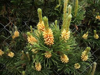 Blüte einer Kiefer#1 - Kiefer, Nadelholz, immergrün, Kieferngewächse, Pinaceae, Nadelbaum, Zapfen, Blütenstaub, Blüte