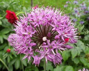 Sternkugel-Lauch - Sternkugel-Lauch, Zier-Lauch, Allium, Lauchblüte, Einzelblüte, Zierpflanze, Gartenpflanze, Lauchgewächs